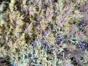 Long Fiber Moss