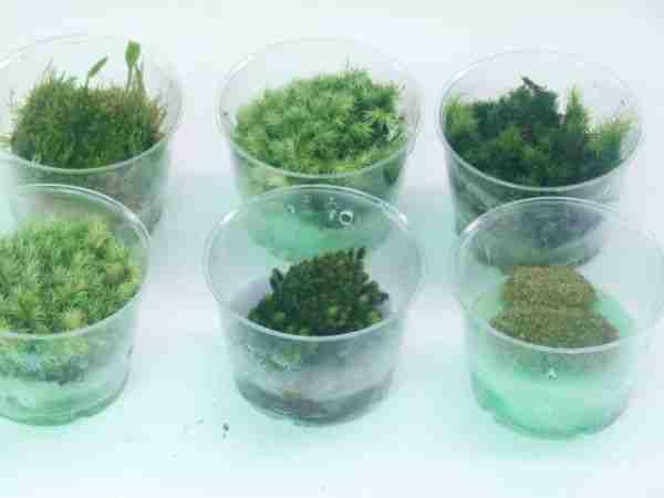 Moss cultures