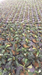 bucephalandra cultivation