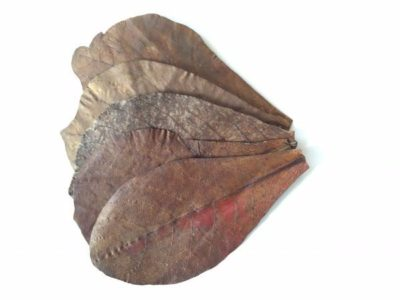 Catappa leaves, also known as Indian almond, make great leaf litter for biotopes.
