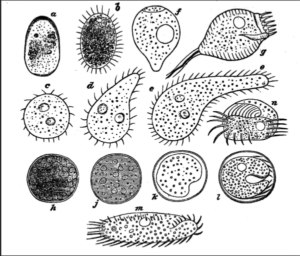 Variety of Infusoria