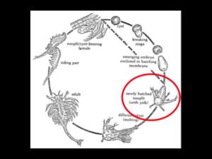 BBS Baby Brine Shrimp Nauplii