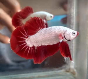 Proper feeding grows the most magnificent Betta. Photo by Defri Ansori.